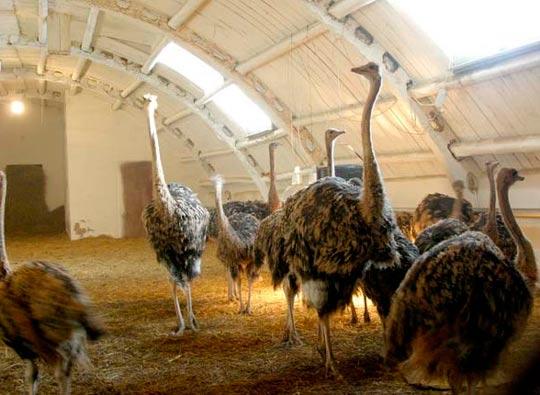 Разведение страусов как бизнес: помещение для страусов
