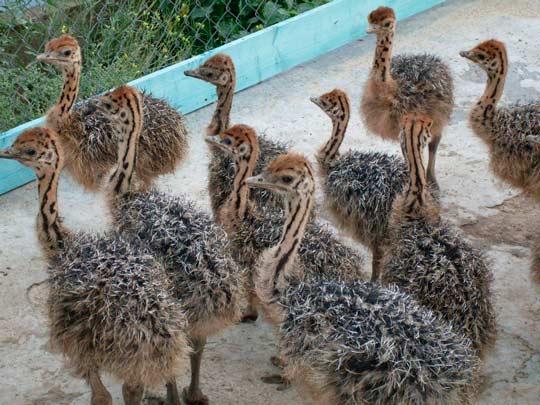 Разведение страусов как бизнес: птенцы страуса