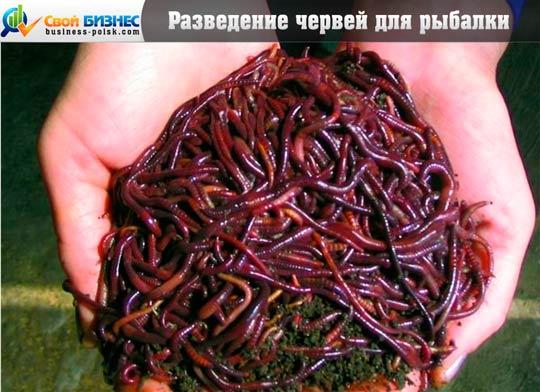 черви для рыбалки разведение в домашних