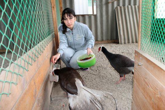 Разведения фазанов в домашних условиях бизнес 807