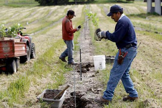 Трюфель. Технология выращивания трюфеля - Журнал Зерно