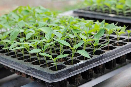 Выращивание рассады в ящиках