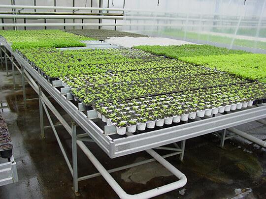 Как вырастить рассаду перца в домашних условиях 76
