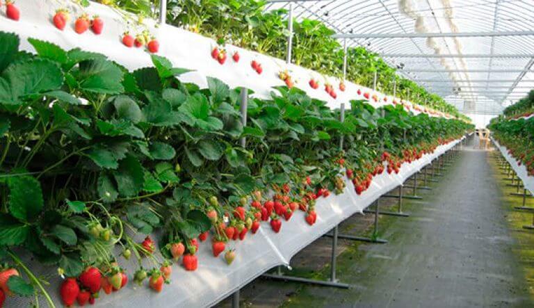 Выращивание клубники в беларуси на продажу