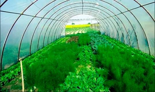 Бизнес по выращиванию петрушки и укропа 83
