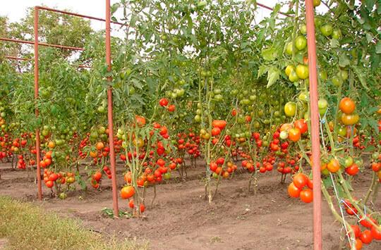 Выращивание овощей в открытом грунте