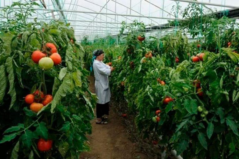 Выращивание овощей на предприятии 303