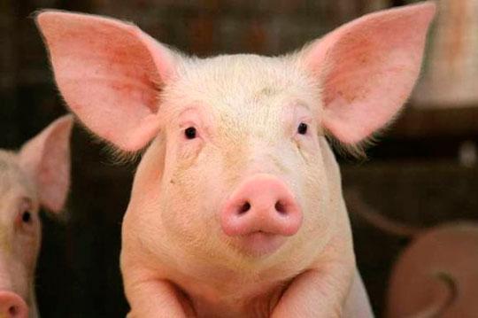 Содержание свиней в ЛПХ